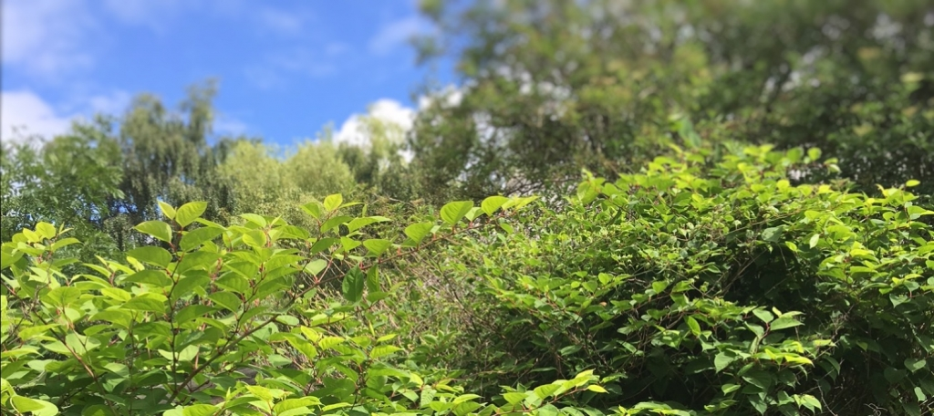Japanese Knotweed in Oxfordshire