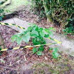 Eradication of Japanese Knotweed in Sandbach