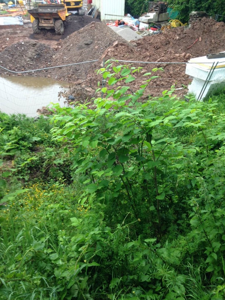 Japanese Knotweed in Shropshire - Before Treatment