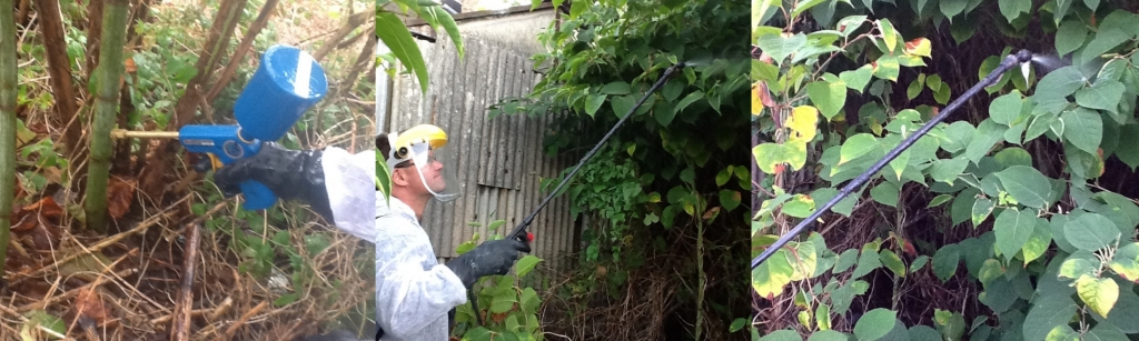 Herbicide Treatment for Japanese Knotweed