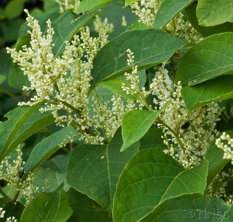 Identifying Japanese knotweed in Summer - White Flowers
