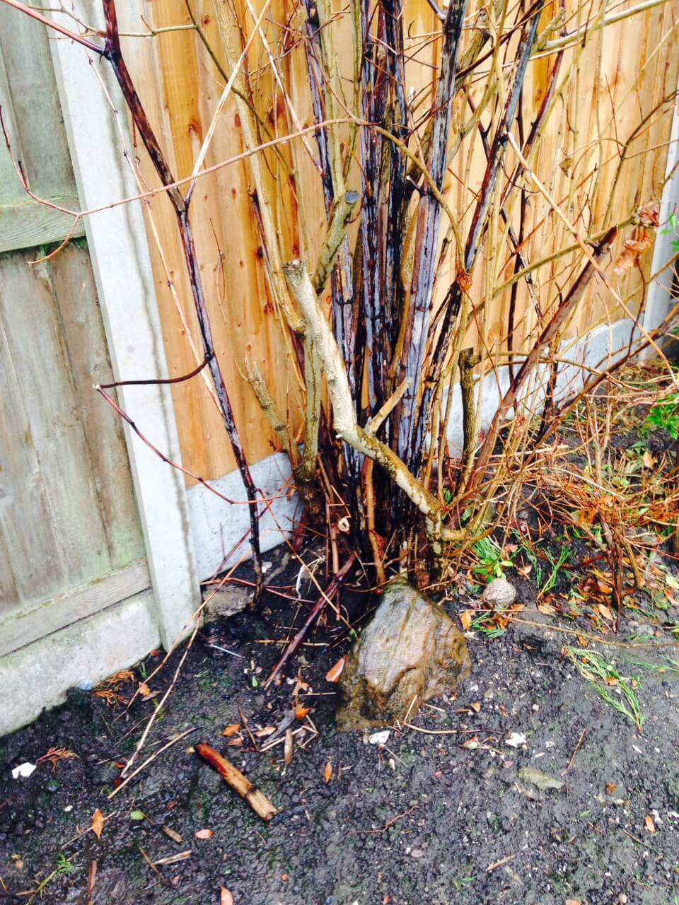 Winter growth of Japanese Knotweed