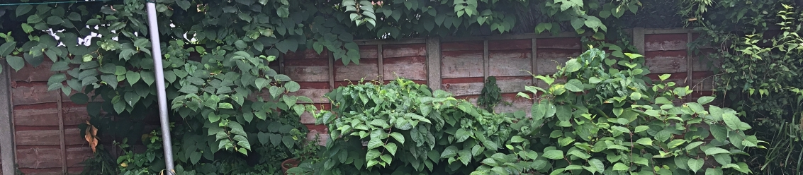 Combined Treatment Methods for Japanese knotweed