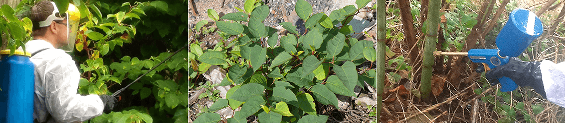 Herbicide Treatment for Japanese Knotweed Removal