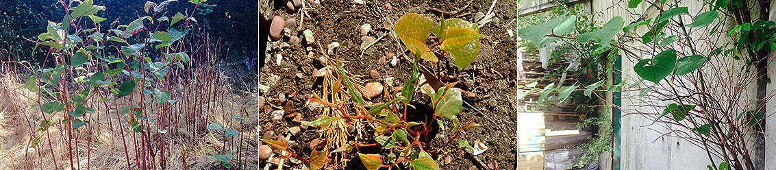 Getting a Mortgage with Japanese Knotweed