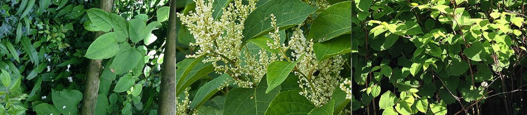 Japanese Knotweed Survey for Home Owners and Landlords