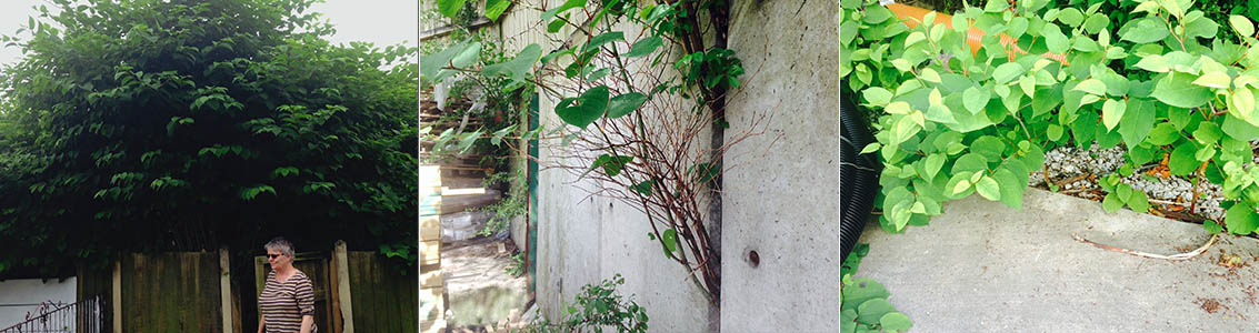 How to Remove Japanese Knotweed
