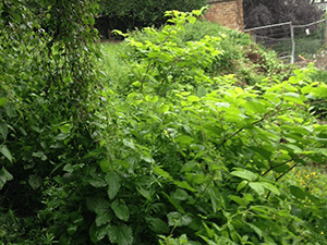 Japanese Knotweed removal in Staffordshire