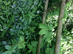 Before image of Japanese Knotweed in Derby