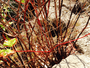 Treating a case of Japanese Knotweed in Stoke on Trent