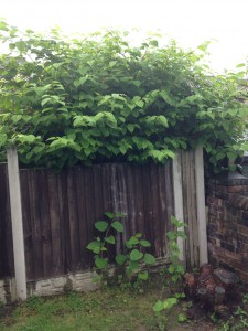 Getting a Mortgage with Japanese Knotweed can be difficult, so contact the experts