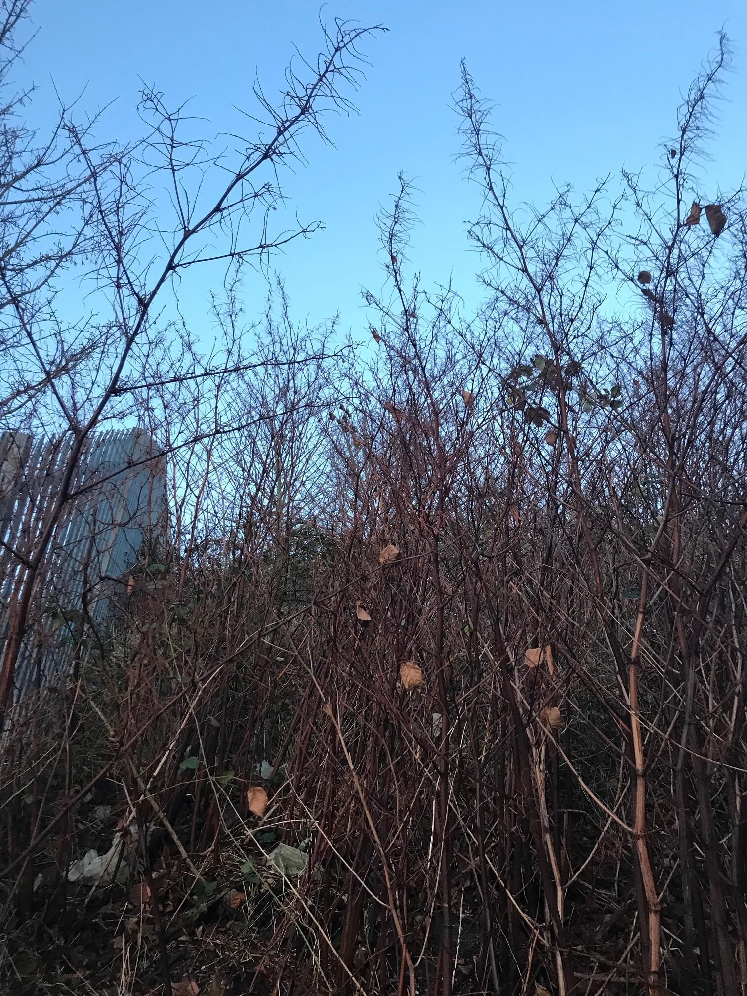 Identifying Japanese Knotweed - Stems with no foliage