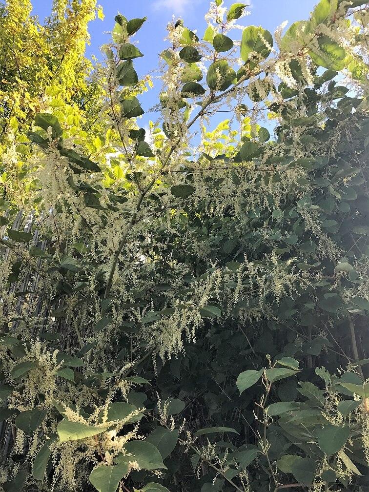 Japanese Knotweed In Your Garden: Identifying Japanese Knotweed