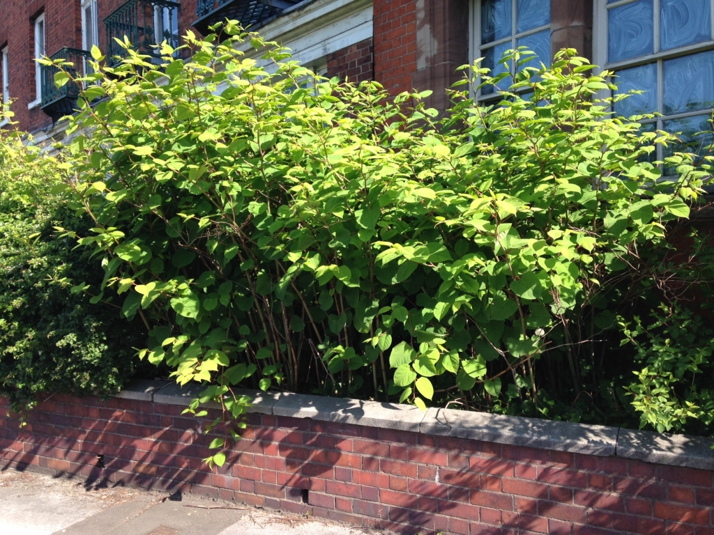 The rapid growth of Japanese Knotweed in Summer