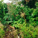 Removal of Japanese Knotweed in Saltney