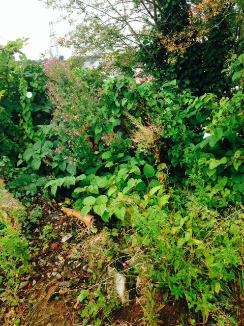 DIY Japanese Knotweed Removal