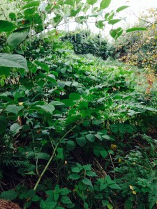 You will need a Japanese Knotweed Survey if you suspect you have it on your land