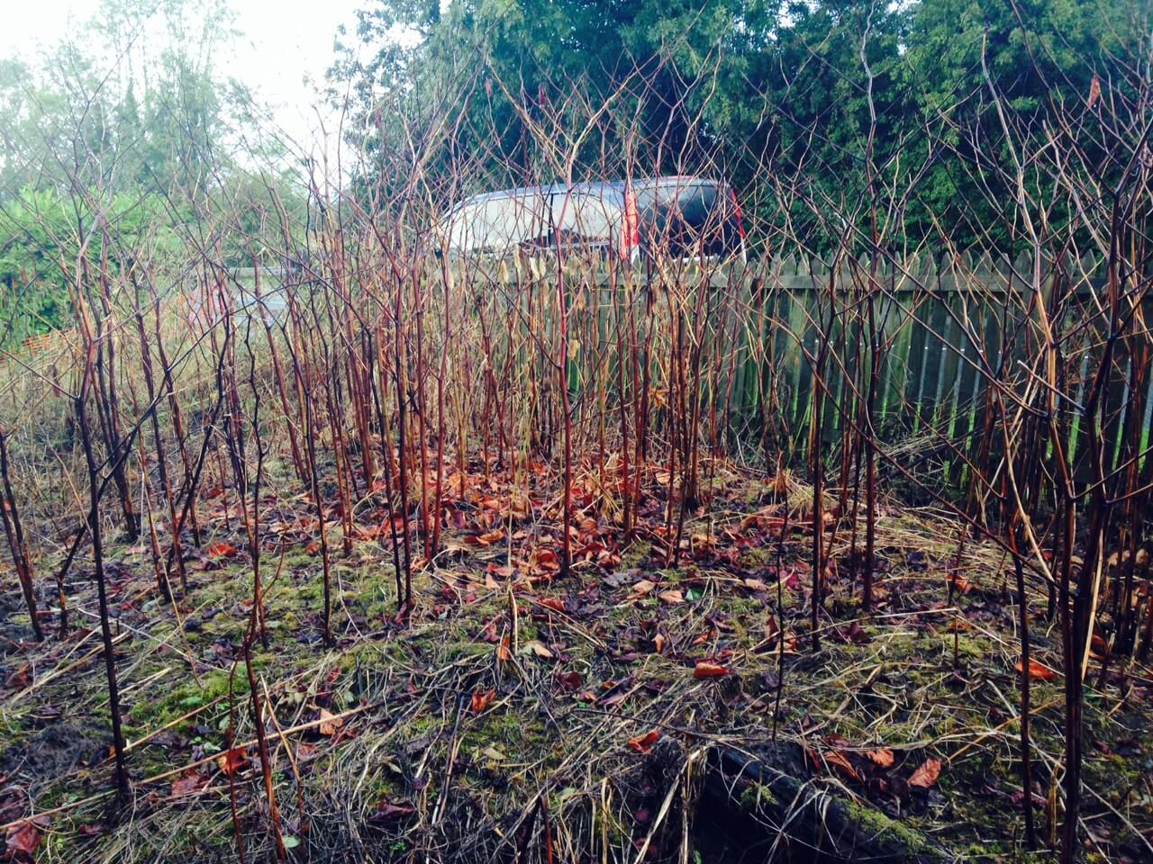 Japanese Knotweed in Winter