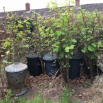 Getting Rid of Japanese Knotweed in Shirebrook