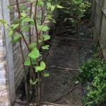 Japanese Knotweed Growing in Frodsham