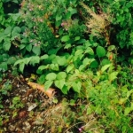 Japanese Knotweed Eradication in Kidsgrove