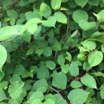 Identification of Japanese Knotweed in Glossop