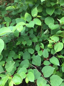 Japanese Knotweed in Lambeth - Removal Process