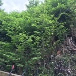 Japanese Knotweed Removal in Hadfield