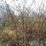 Eradication of Japanese Knotweed in Wiltshire