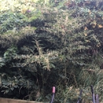Removal of Japanese Knotweed in Tyne & Wear