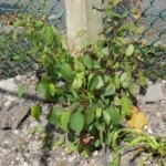 Removal of Japanese Knotweed in Gloucestershire