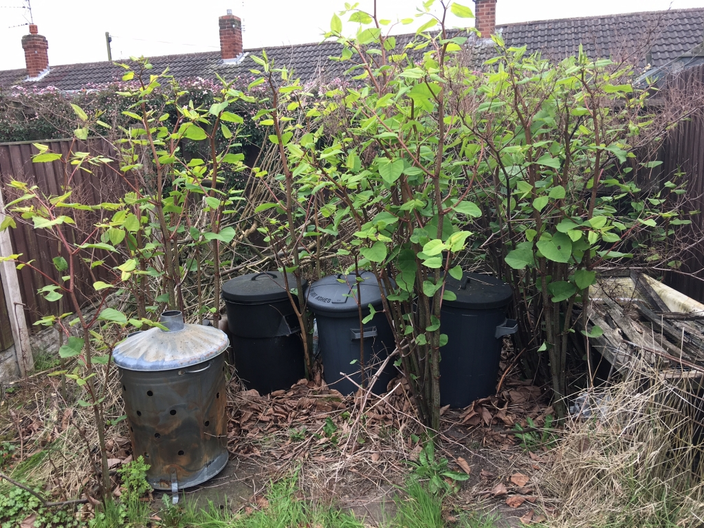 Japanese Knotweed removal in Cornwall
