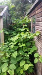 Japanese Knotweed in Sutton