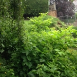 Eradication of Japanese Knotweed in Winsford