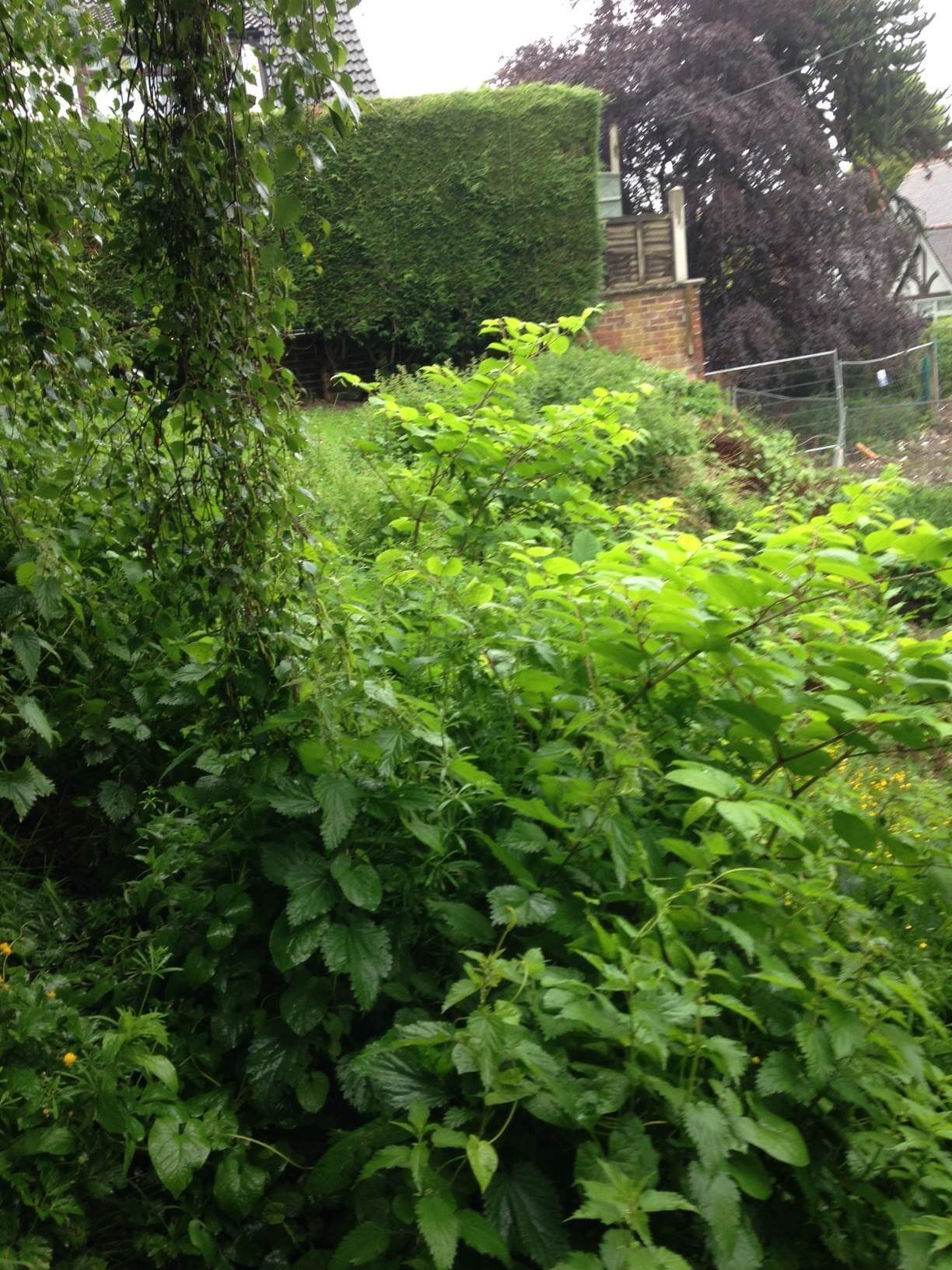 Japanese Knotweed Removal in New Mills