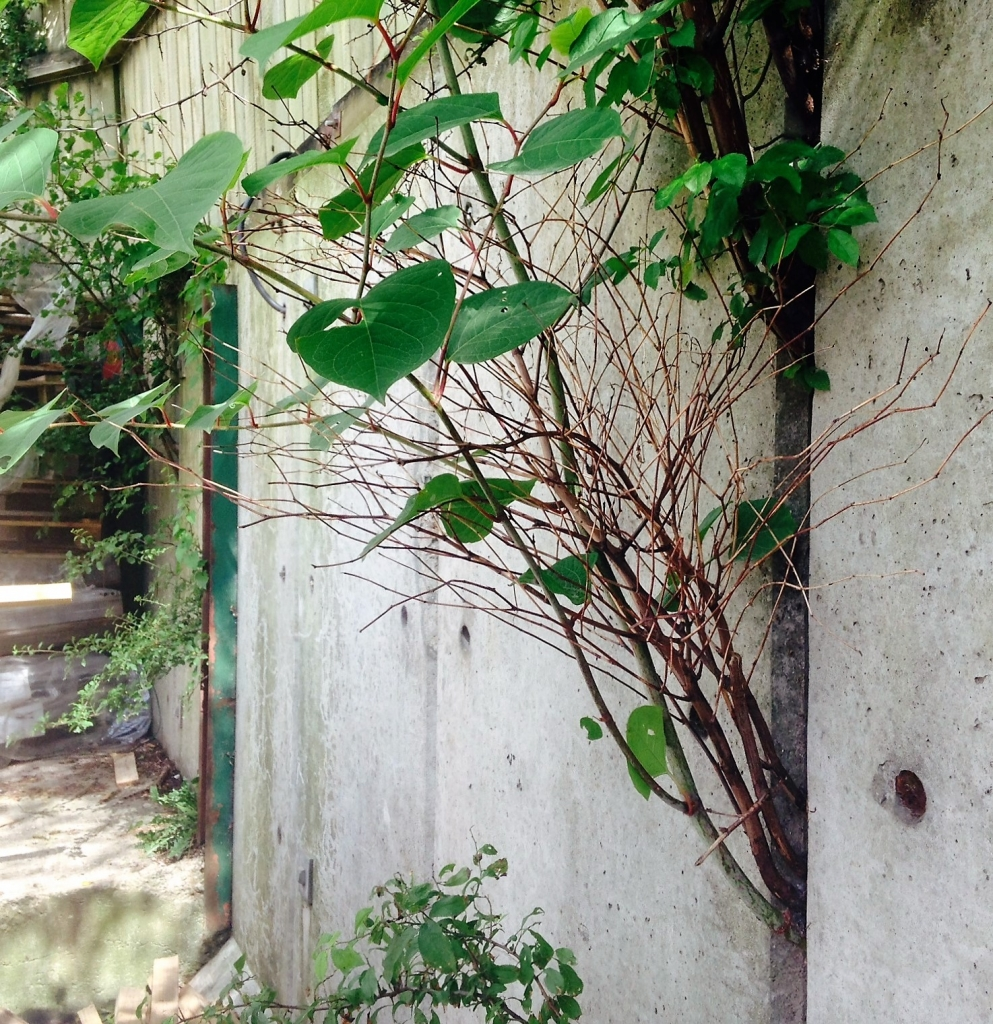 Japanese Knotweed Eradication in Wombourne - Growing through a wall