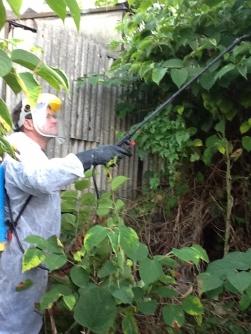 Spraying Japanese Knotweed