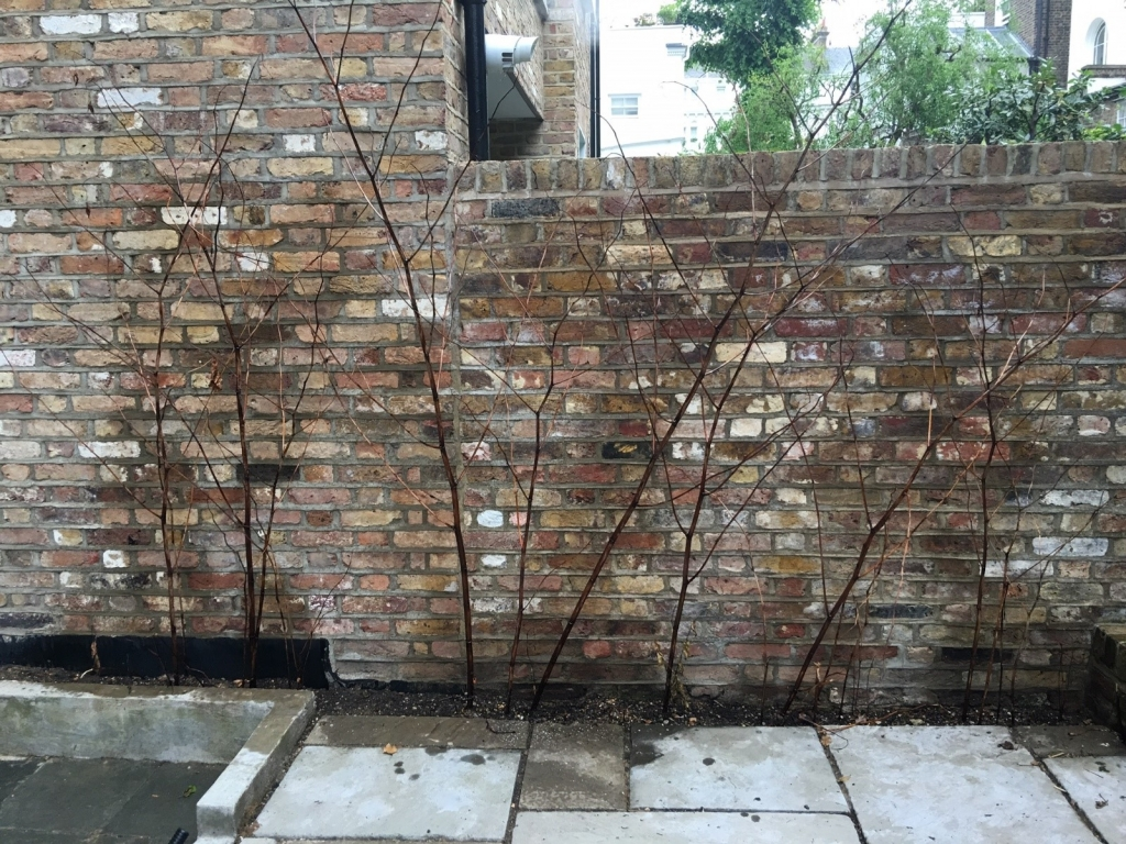 Eradication of Japanese Knotweed in London - Dead Stands