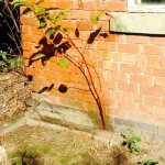 Removal of Japanese Knotweed in Ashbourne
