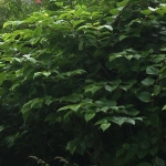 Eradication of Japanese Knotweed in Sheffield