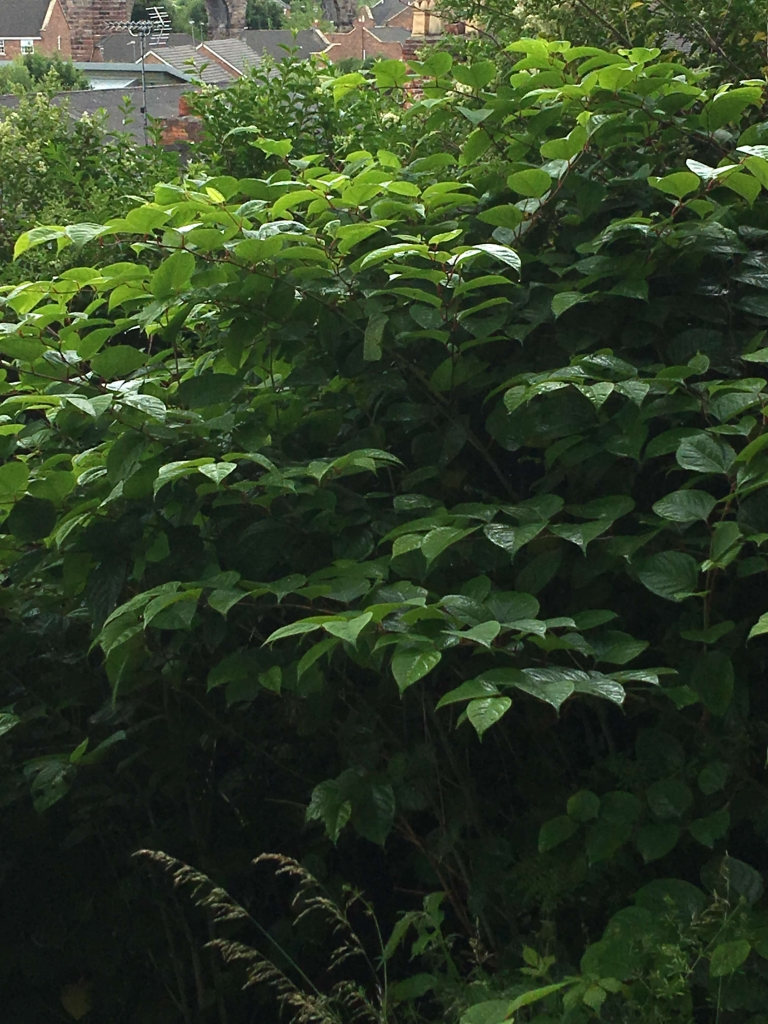 Eradication of Japanese Knotweed in Sheffield - Herbicide Treatment