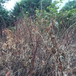 Japanese Knotweed Removal for Businesses