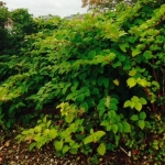 Japanese Knotweed Removal in Kensington & Chelsea
