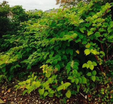 Removal of Japanese Knotweed in Surrey