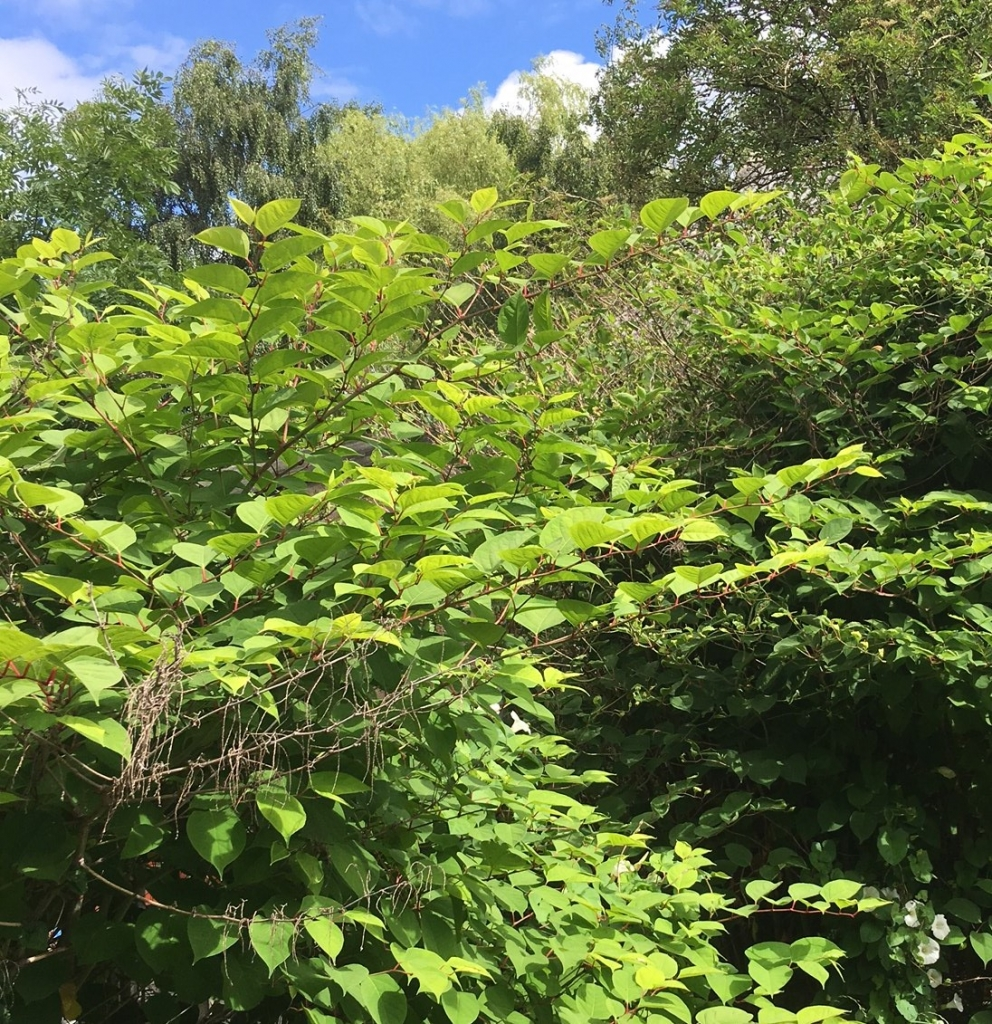 Japanese Knotweed in South Yorkshire - Eradication
