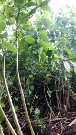 Japanese Knotweed - Treatment 3 20.07.15