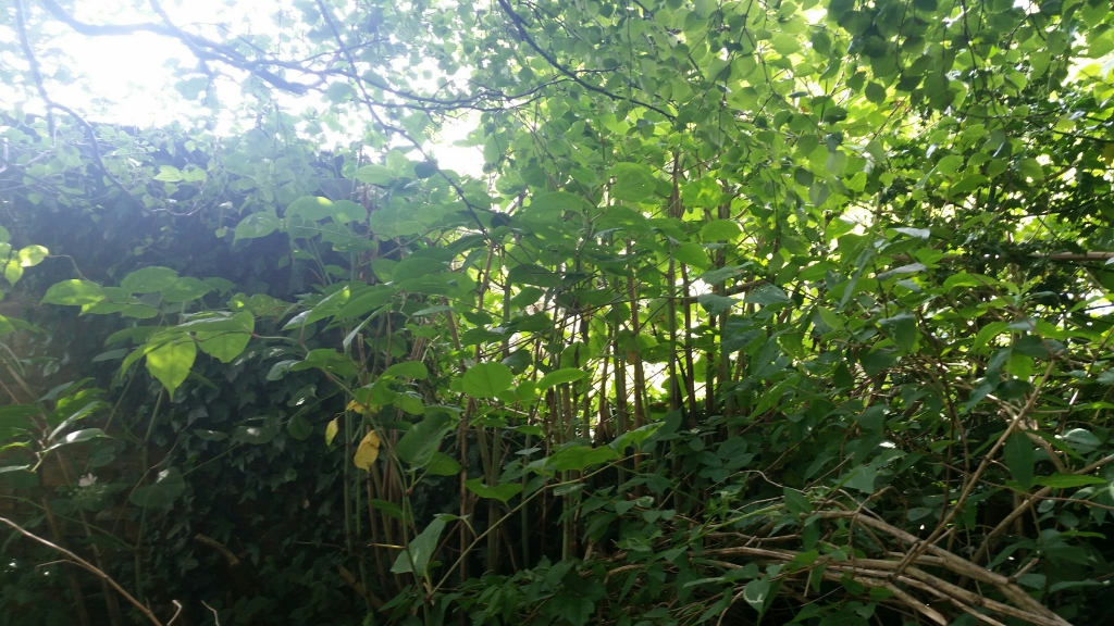 Japanese Knotweed Removal in Poynton