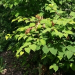 Japanese Knotweed eradication in Nottingham