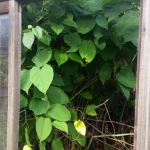 Japanese Knotweed Removal in Biddulph
