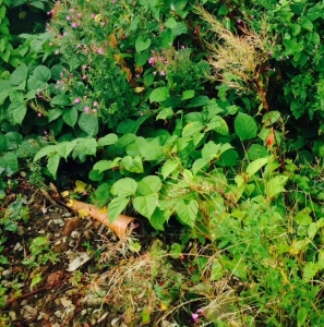 Japanese Knotweed control in Kensington & Chelsea